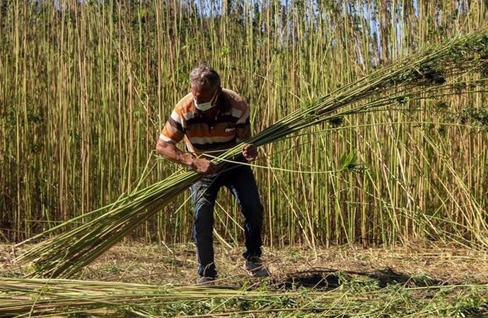 Taşköprü'de 17 yıl aradan sonra ilk kenevir hasadı başladı