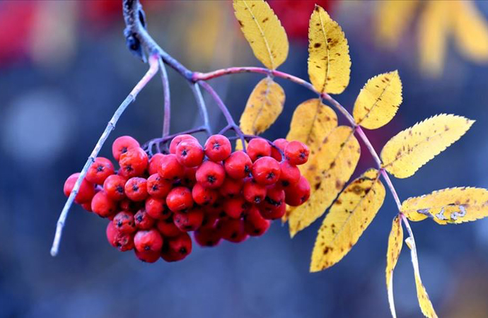 Ormanlara 100 bin meyve fidanı dikilecek