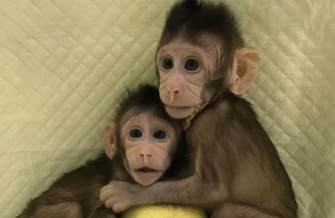 Çin Bilimler Akademisinde bir maymun klonlandı