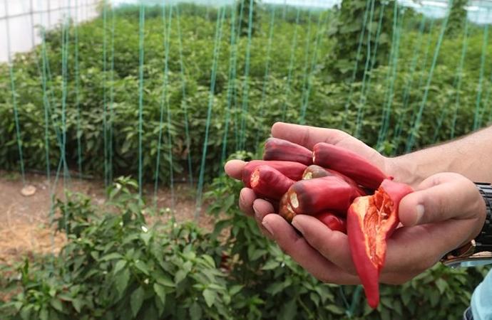 Maraş'ta geliştirilen tohumun ilk müşterisi İsrail
