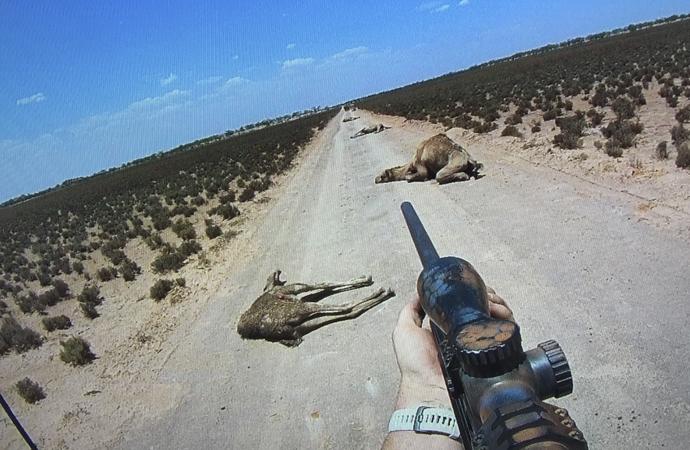 Avustralya'da develerden sonra hedefte vahşi kediler var!