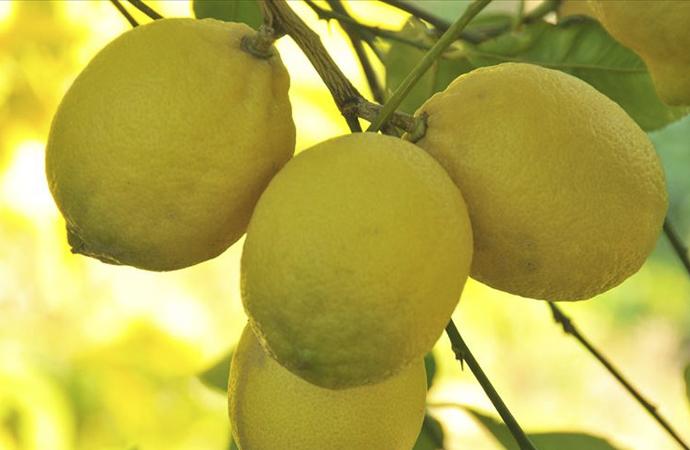 Limon artık ilaç niyetine kullanılıyor, stoklar yeterli