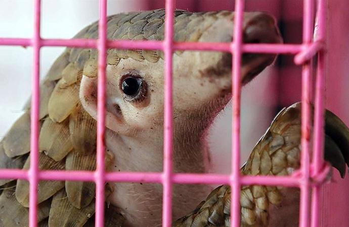 Gabon'da pangolin ve yarasa tüketimi yasaklandı