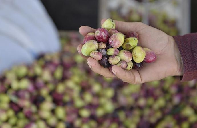 Zeytin ihracatının merkezi Avrupa oldu