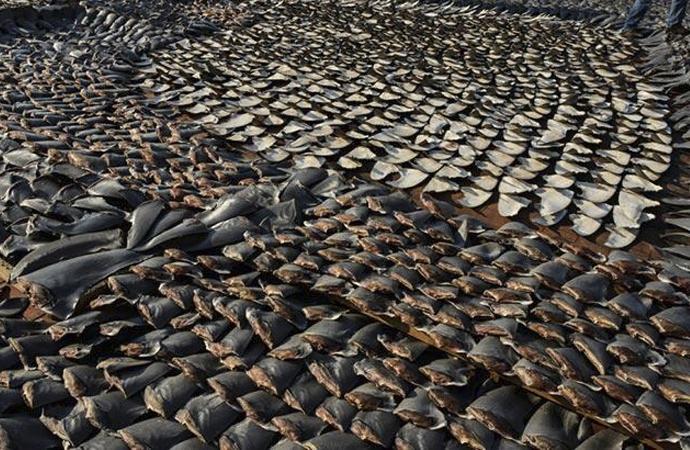 On binlerce köpek balığı katledilmiş