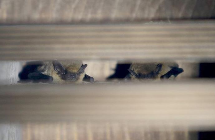 'Yarasaları öldürmeyin' uyarısı