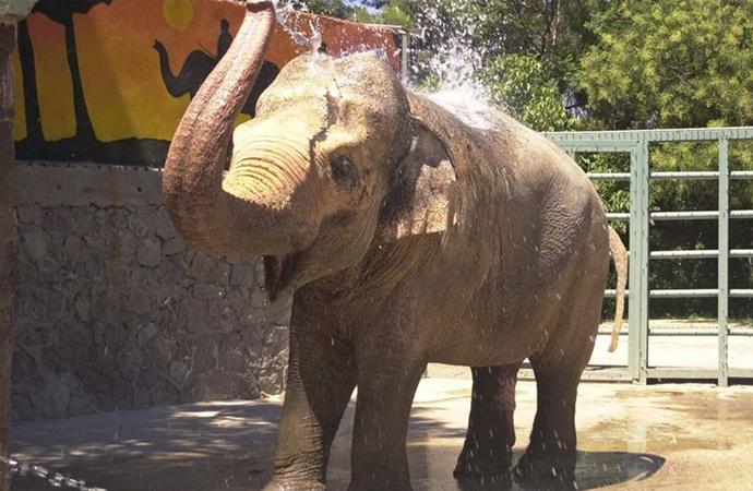 Hindistan'da bir fili, içine patlayıcı yerleştirdikleri ananas ile öldürdüler