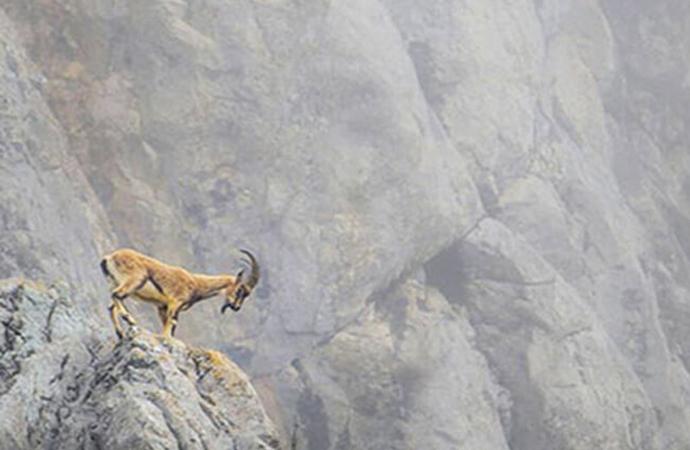 Tepkiler sonuç verdi; Tunceli'de dağ keçilerinin avlanması için açılan ihale iptal edildi