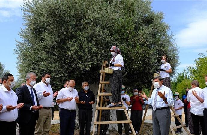 1300 yıllık zeytin ağacının hasadı dualarla başladı