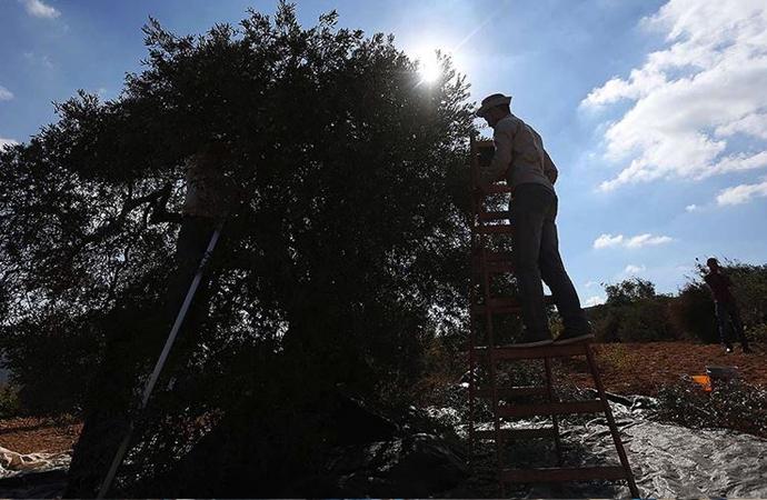 Filistinlilerin zeytin bahçelerine girmesi yasaklandı!