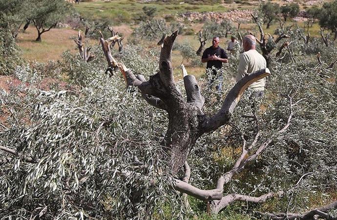 İsrailli yerleşimciler Filistinlilerin zeytin ağaçlarını kesiyor