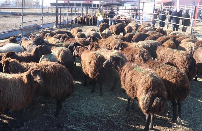 '5 Yılda 750 Bin Koyun Projesi' kapsamında çiftçiler koyunlarını almaya başladı