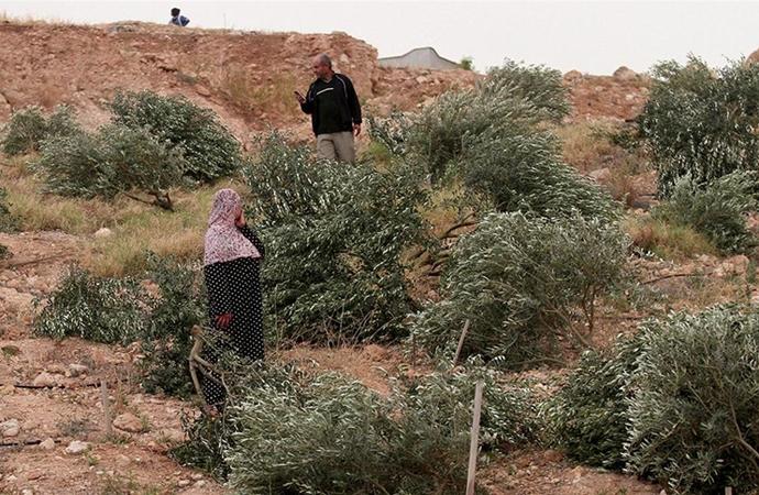 Filistinlilere ait onlarca zeytin ağacını söktüler