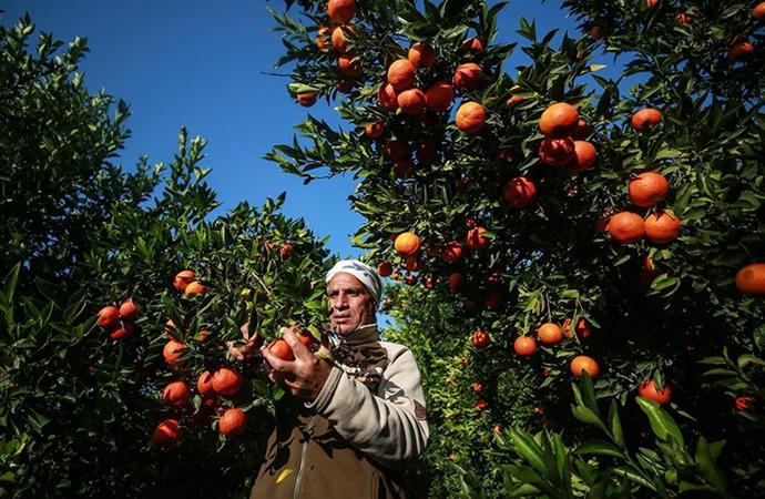 Gazze'nin meşhur narenciye bahçeleri yok olmak üzere