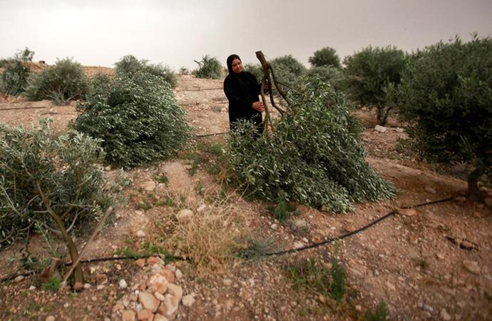 Batı Şeria'da Filistinlilere ait 2 bin zeytin ağacını söktüler
