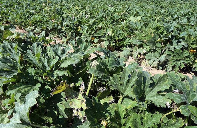Bilinçsiz tarım ilacı kullanımı bitkide verimi düşürüyor