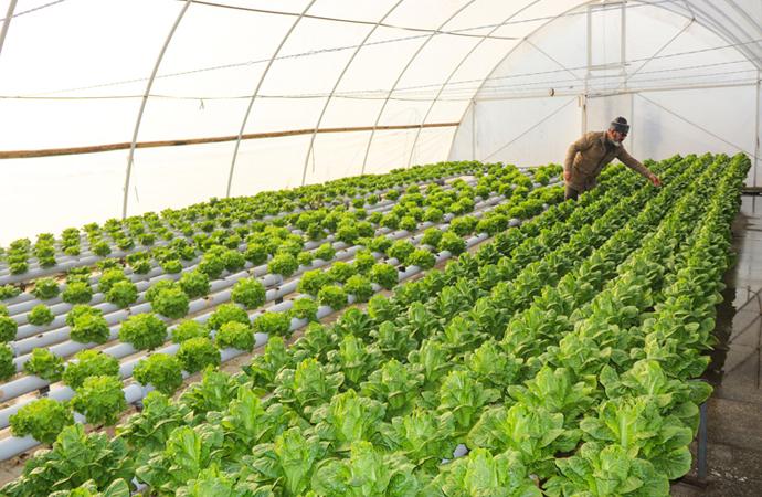 Topraksız serada sebze yetiştiriyor