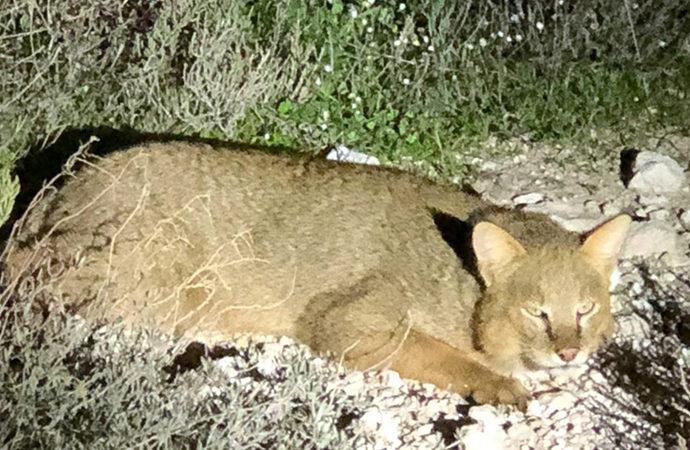 Nesli tükenmekte olan saz kedisi görüntülendi