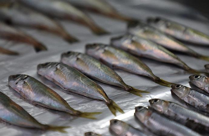 Marmara ve Karadeniz'de balıklarda mikroplastik tespit edildi