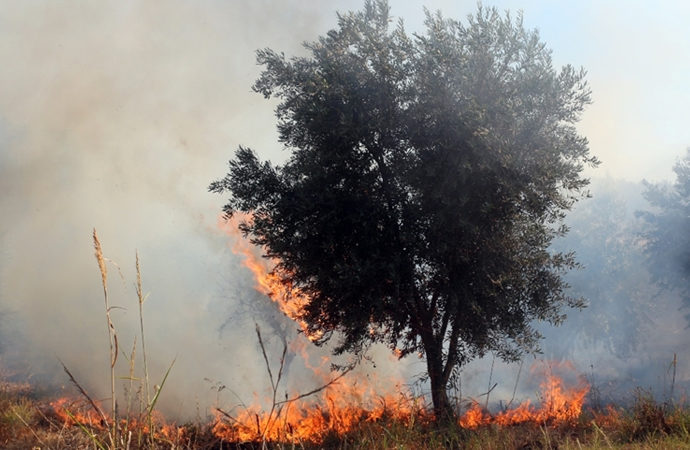Yahudi yerleşimciler Filistinlilere ait zeytin ağaçlarını yaktı