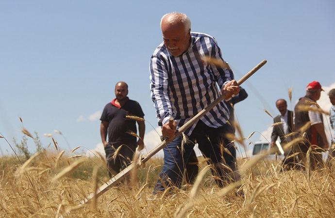 """""""Habeş buğdayının"""" hasadı yapıldı"""