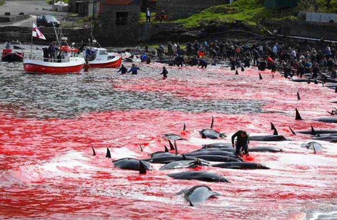 Danimarka'daki festivalde 1500 civarında balina ve yunus katledildi
